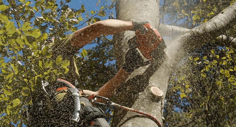 Professionelle Fällung eines Baumes
