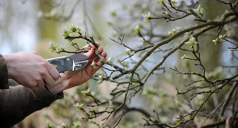 Obstbaum professionell beschneiden