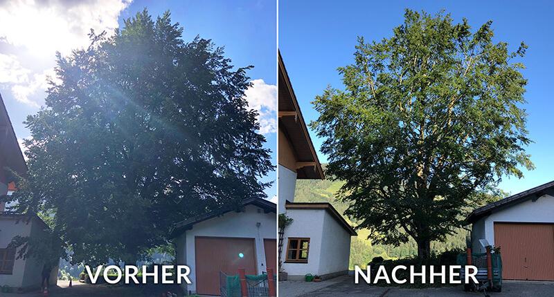 Vorher und Nachher Bild einer Kroneneinkürzung beim Baum
